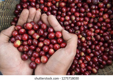 Close up of red berries coffee beans on agriculturist hand