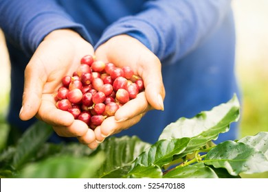 Close up red berries coffee beans on agriculturist hand natural background.Thailand.