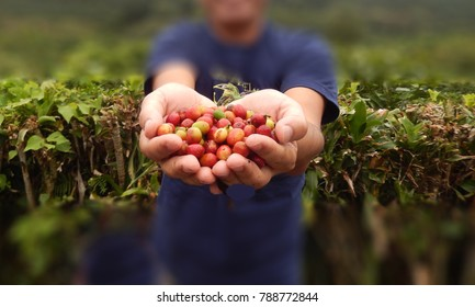 Close up red berries coffee beans on agriculturist hand, Costa Rica