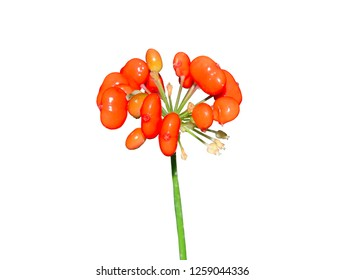 A close up of the red berries of medicinal plant ginseng (Panax ginseng). Isolated on white.