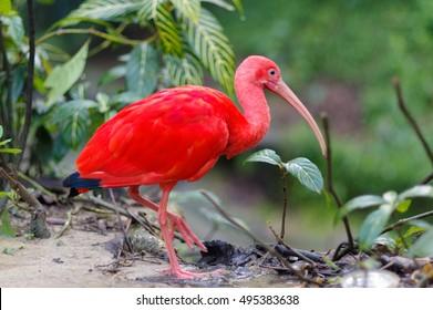 Close up of red bird scarlet ibis, selective focus.