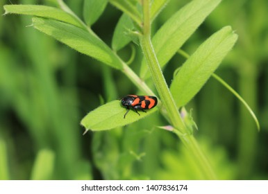 Close up of a red and black frog hopper. Scientific name Cercopis vulnerata. Pictured on the leaves of a common vetch plant. Botanical name Vicia sativa in bright sun.