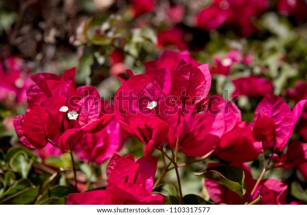 Close up of red bougainvillea flowers
