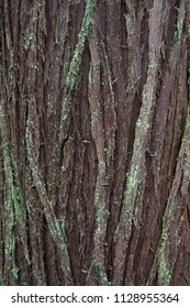 Close up of red cedar bark in old-growth forest, British Columbia