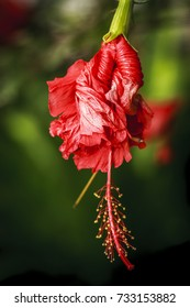 A close up of a red checkered Hibiscus flower.