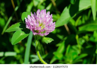 Close up of a Red Clover flower. Rouge National Urban Park, Toronto, Ontario, Canada.
