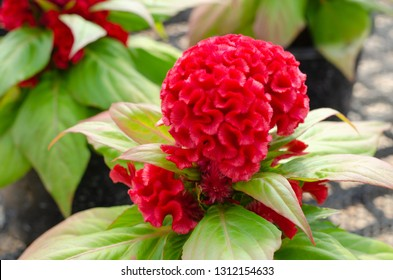 close up of red Cockscomb flowers or Celosia cristata in the outdoor garden