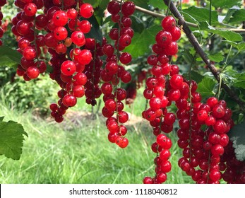 Close up red currant on a branch in the field, beautiful Ripe red currants,fresh currants,
