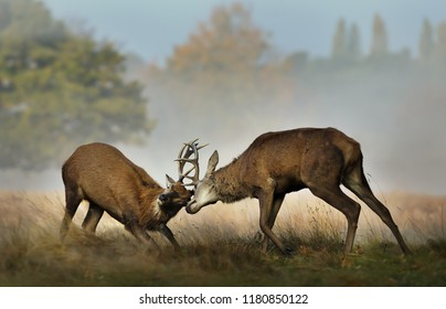 Close up of Red deer fighting during rutting season on a misty autumn morning, UK