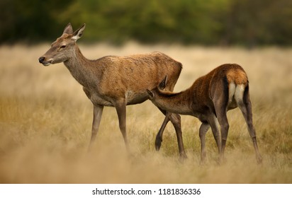 Close up of a Red deer hind feeding her calf. Animal behavior.