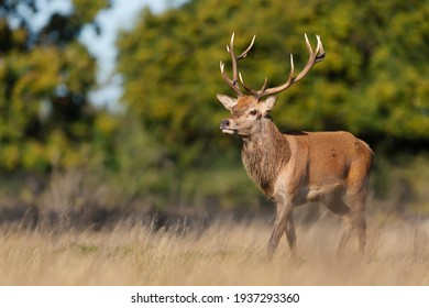 Close up of a red deer stag in autumn, UK.
