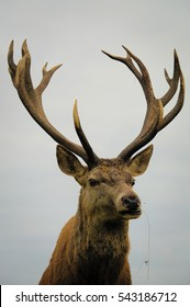 Close up of red deer stag, Calke Abbey