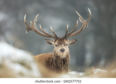 Close up of a Red deer stag during snow  in winter, UK