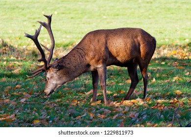 Close up of a Red Deer Stag grazing among the autumn leaves