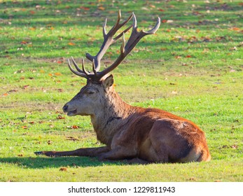 Close up of a Red Deer stag laying down, head up, in the autumn sun
