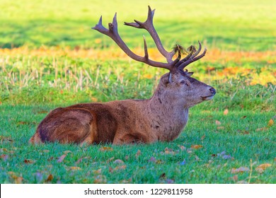 Close up of a Red Deer stag, laying down with grass on its antlers
