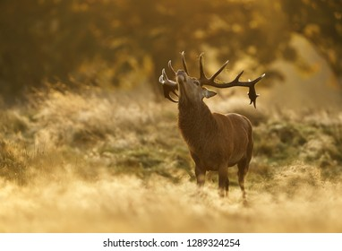 Close up of a Red deer stag roaring during rutting season at dawn, UK.