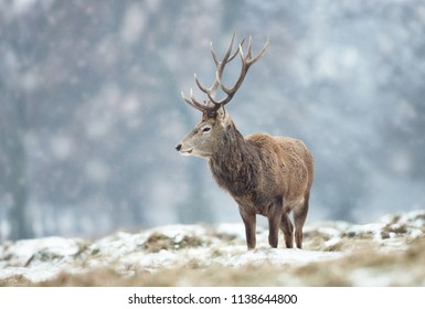 Close up of a Red deer stag standing on the ground covered with snow during winter in UK .