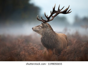 Close up of a red deer standing in fern on a misty autumn morning, UK