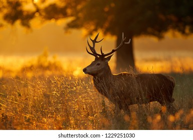 Close up of a Red deer standing in grass at dawn, UK.