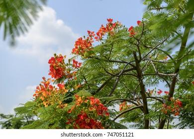 close up red delonix regia (Pheonix) flower