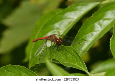 a close up of a red dragon fly