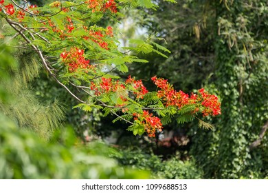 Close up Red Flamboyant flower,The Flame Tree , Royal Poinciana