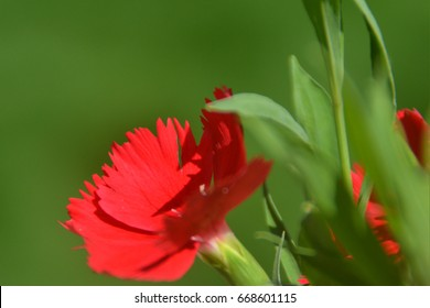 Close up Red flower with green leaves