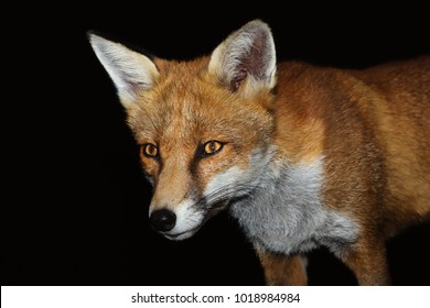 Close up of a Red fox against black background, England, UK