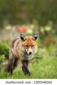 Close up of a Red fox against colorful background, UK
