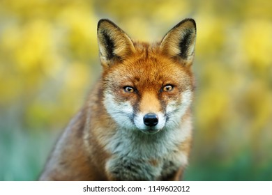 Close up of a red fox against yellow background, UK
