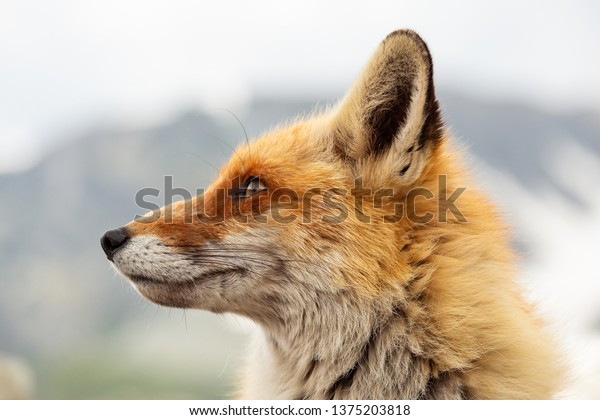 Close up red fox in the nature with blur background