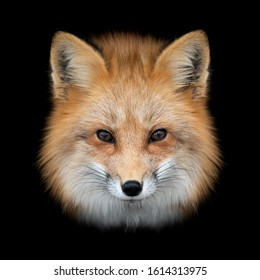 Close up Red fox portrait isolated on dark background