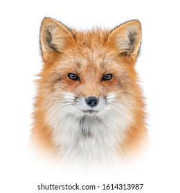 Close up Red fox portrait isolated on white background