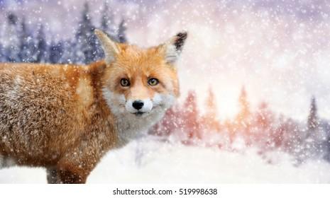 Close red fox portrait in winter time