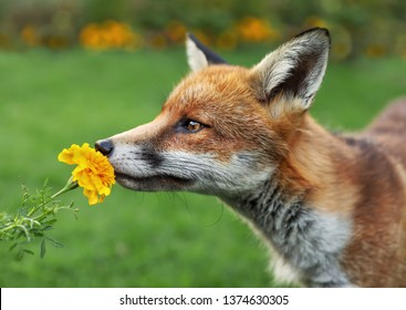 Close up of a red fox smelling the flower.