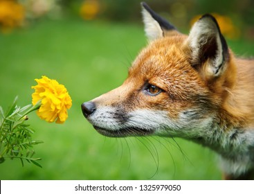 Close up of a Red fox smelling marigold flower, UK.