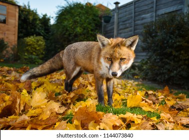 Close up of a red fox standing on the grass covered with autumn leaves, UK.