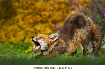 Close up of a Red fox stretching and yawning, UK