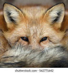 Close red fox (Vulpes vulpes) portrait