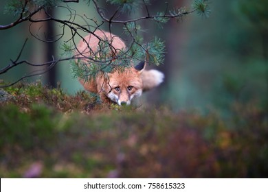 Close up Red Fox, Vulpes vulpes, shy adult male in dense winter fur partly hidden behind pine, carefully staring at camera. Fox in pine forest rainy day, czech highland, Czech republic.