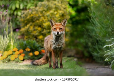 Close up of a red fox (Vulpes vulpes) standing on green grass in an urban garden, United Kingdom.