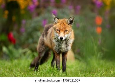 Close up of a red fox (Vulpes vulpes) standing on green grass in a garden, UK.