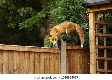 Close up of a Red fox walking on the fence in the back garden , England, UK