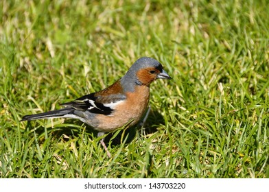 Close up of red and gray chaffinch bird walking in green grass