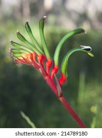 Close up of a red and green kangaroo paw flower