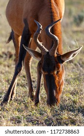 Close up of a red hartebeest eating grass in the field