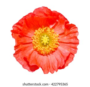Iceland poppy images stock photos vectors shutterstock close up of a red iceland poppy flowerscientific name papaver nudicaule isolated on mightylinksfo