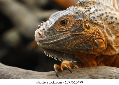 Close up of Red Iguana (Iguana iguana)