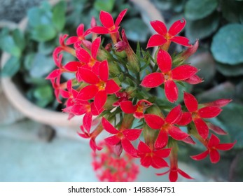 Close up red kalanchoe flower in clay pot